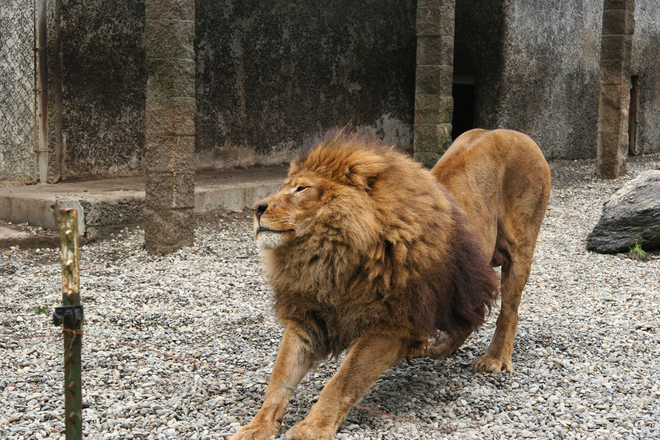 Free stock photo of lion from Stock Exchange